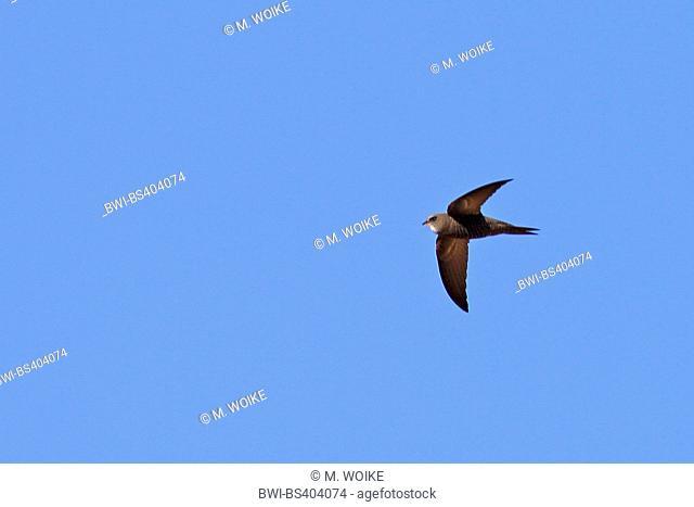 pallid swift (Apus pallidus), in flight, Canary Islands, Fuerteventura