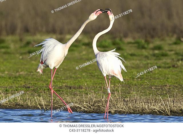 Greater Flamingo (Phoenicopterus roseus). Quarrel between two birds at the Laguna de Fuente de Piedra near the town of Antequera