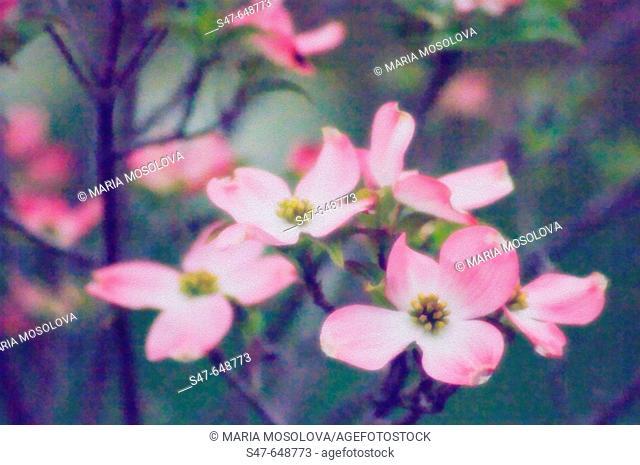 Pink Dogwood Blossom. Cornus florida pink. April 2005, Maryland, USA
