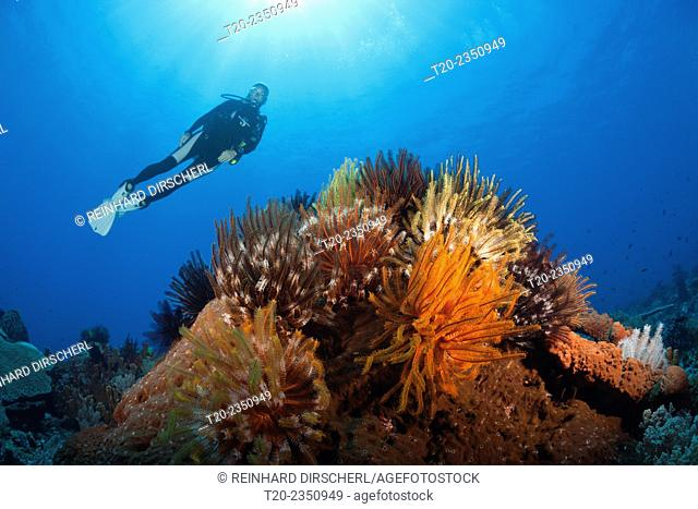 Colored Featherstars in Coral Reef, Comaster schlegeli, Kai Islands, Moluccas, Indonesia
