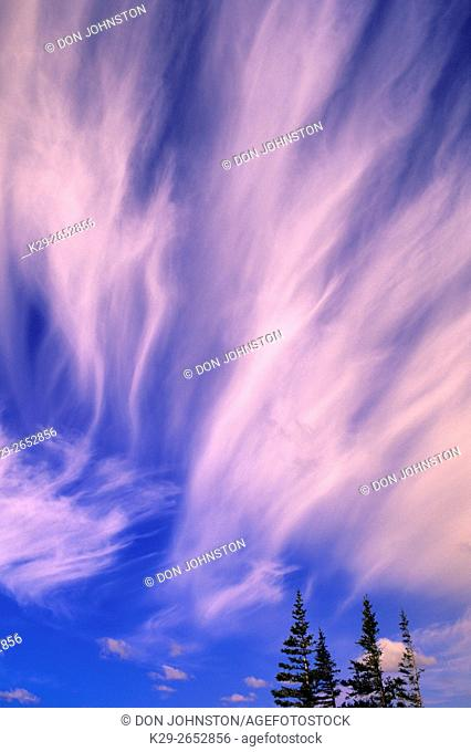 Boreal spruce trees with cirrus cloud formations, Churchill, Manitoba, Canada