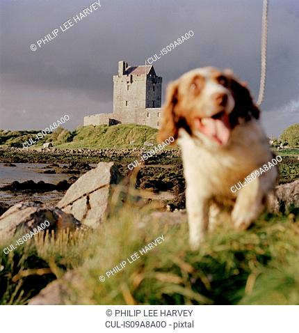A dog runs near Dunguaire Castle in Galway Bay, County Galway, Ireland