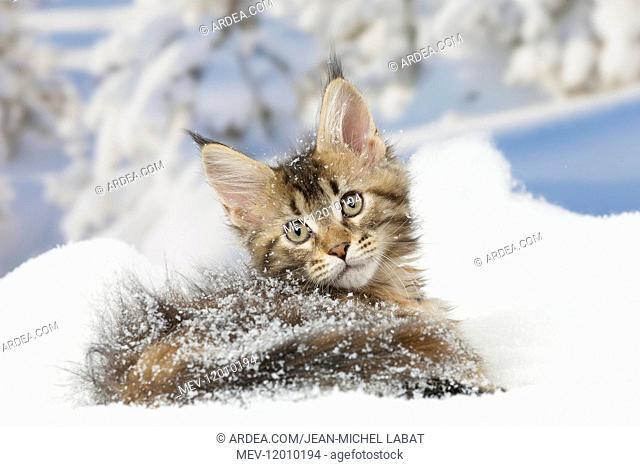 Maine Coon kitten outdoors in winter