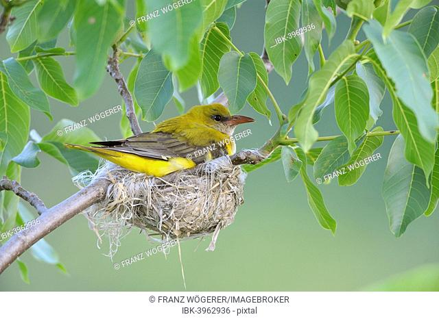 Golden Oriole (Oriolus oriolus), adult female incubating eggs in the nest, in a walnut tree, Bulgaria