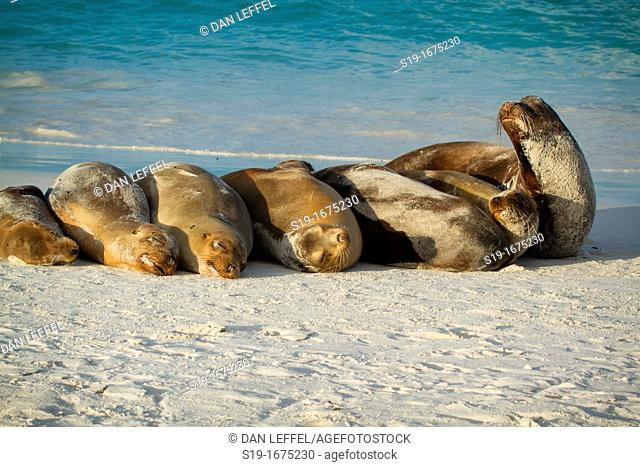 Sea Lions resting on beach, Galapagos Islands