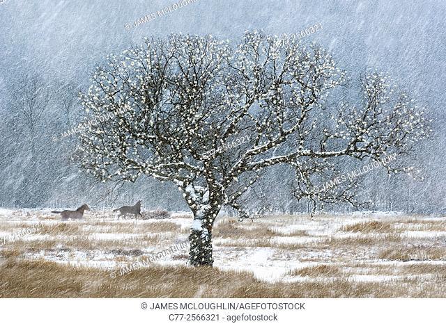 Horse, Horses, winter, snow, Oak tree