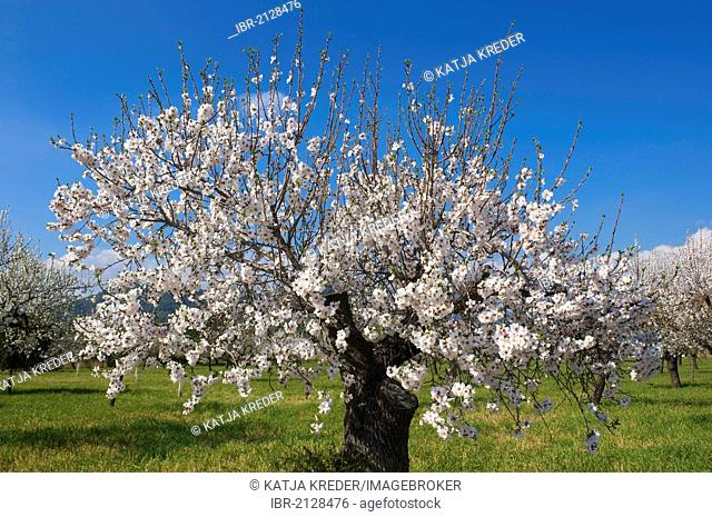 Almond tree plantation, Serra de Tramuntana, Majorca, Balearic Islands, Spain, Europe