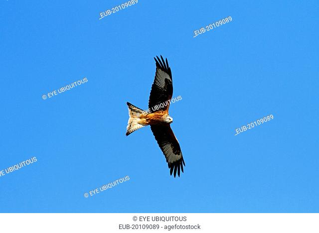 Red kite Milvus milvus Soaring against blue sky Rhayder Powys Mid Wales UK