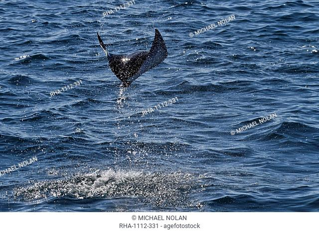 Adult spinetail mobula Mobula japanica leaping, Isla Espiritu Santo, Gulf of California Sea of Cortez, Baja California Sur, Mexico, North America