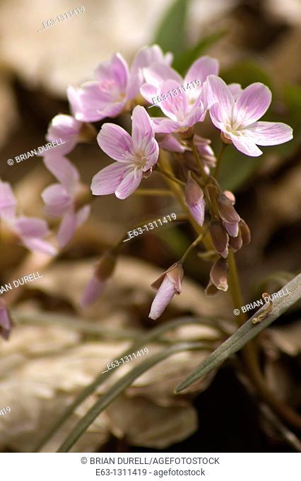 Spring beauty Claytonia virginica Mountain View, Ontario, Canada
