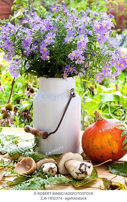 Freshly picked mushrooms and 'Hokkaido' pumpkin on a wooden table. Autumn arrangement includes vintage milk can filled with blooming asters