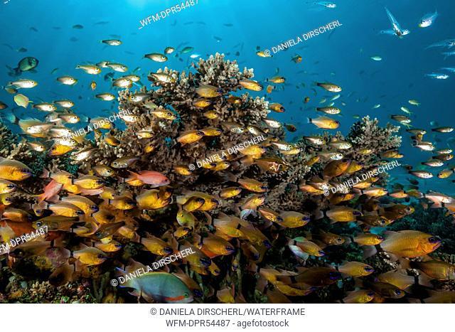 Shoal of Golden Cardinalfish, Apogon aureus, Ambon, Moluccas, Indonesia