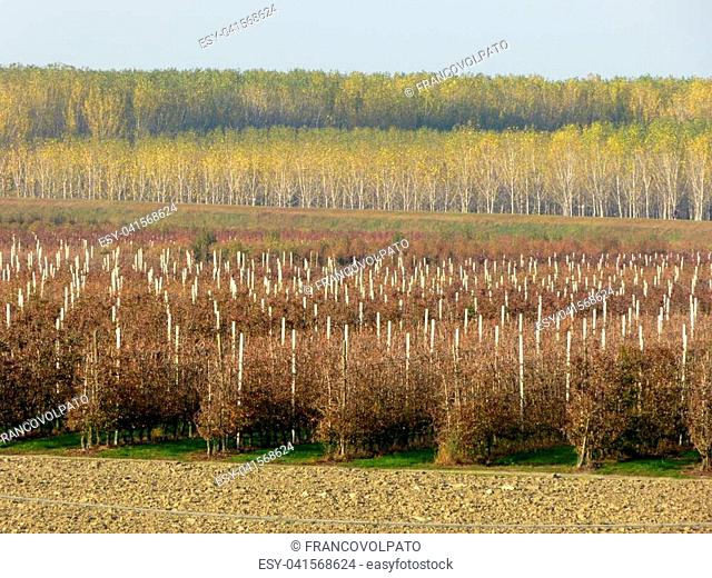 Agricultural crops along the banks of the Po river - Mantua - Lombardy - Italy 02