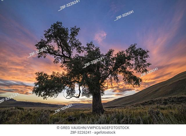 Cottonwood Tree at sunset, Lamar Valley, Yellowstone National Park, Wyoming