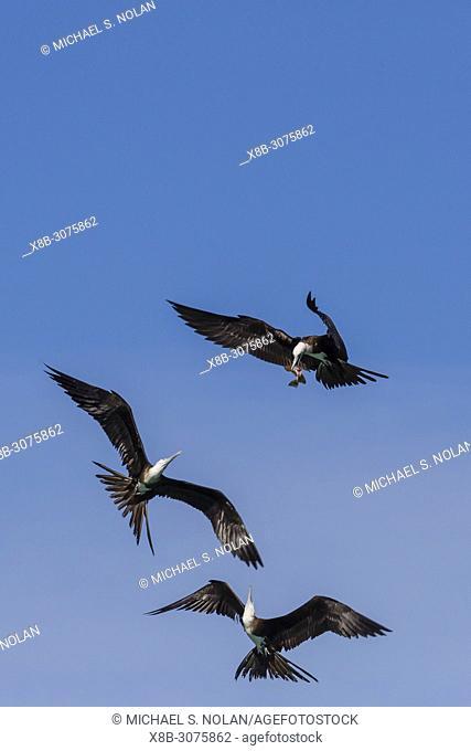 Juvenile magnificent frigatebirds, Fregata magnificens, fighting over food in San Gabriel Bay, Espiritu Santo Island, BCS, Mexico