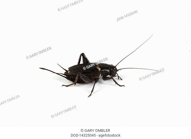 Gryllus assimilis common black cricket against white background