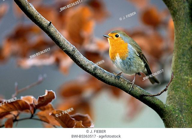 European robin (Erithacus rubecula), on a branch, Germany, Rhineland-Palatinate