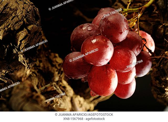 Bunch of red grapes on the vine with water droplets