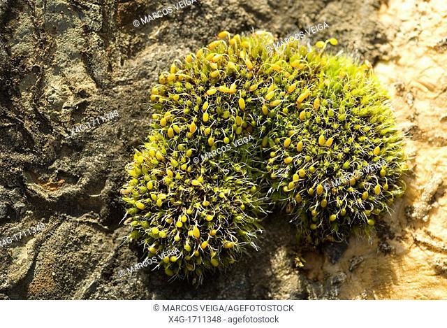 Cushion moss Grimmia pulvinata