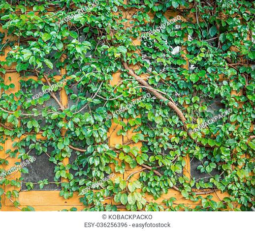 Close up window on green wall with climbing plant