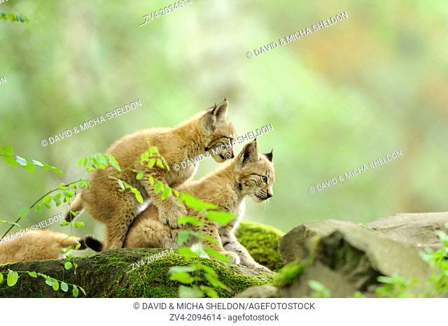 Close-up of two Eurasian lynx (Lynx lynx) cubs playing
