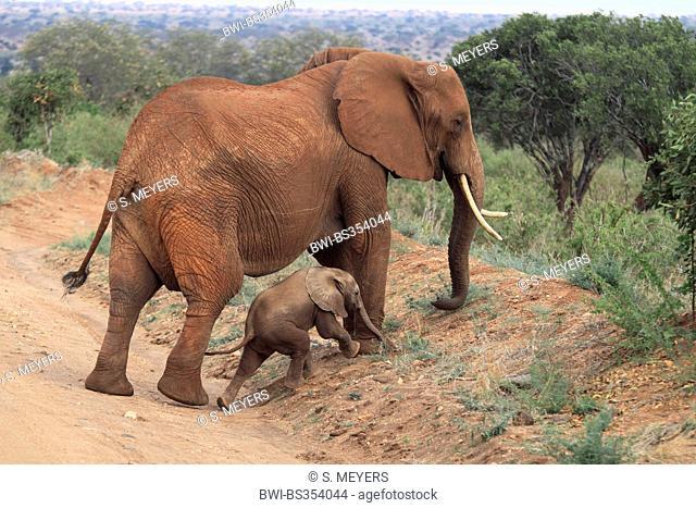 African elephant (Loxodonta africana), cow elephant with calf, Kenya, Tsavo East National Park