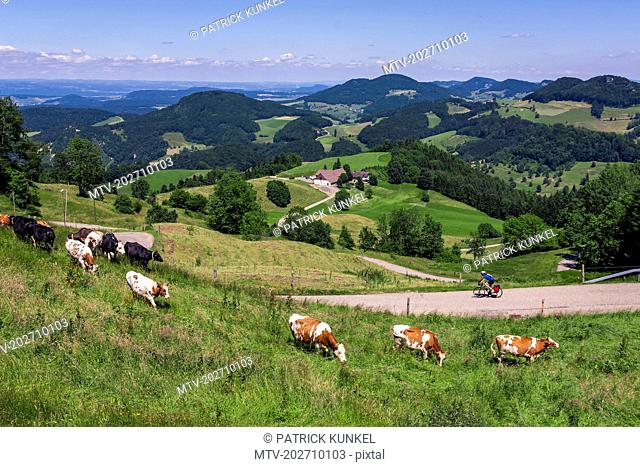 Biker on solo bicycle road trip with cattle grazing on grass fields
