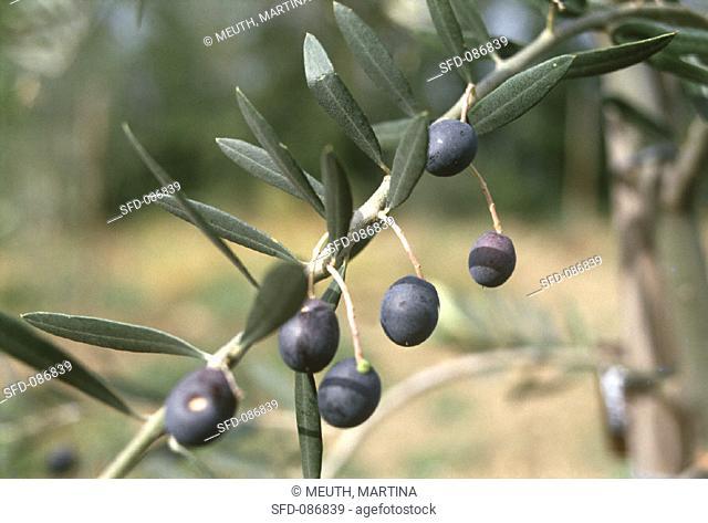 Black Olives at the Branch
