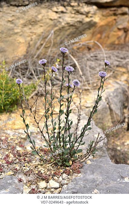 Crown friar (Globularia alypum) is an evergreen subshrub native to Mediterranean Basin. This photo was taken in Santa Perpetua de Gaia, Tarragona province