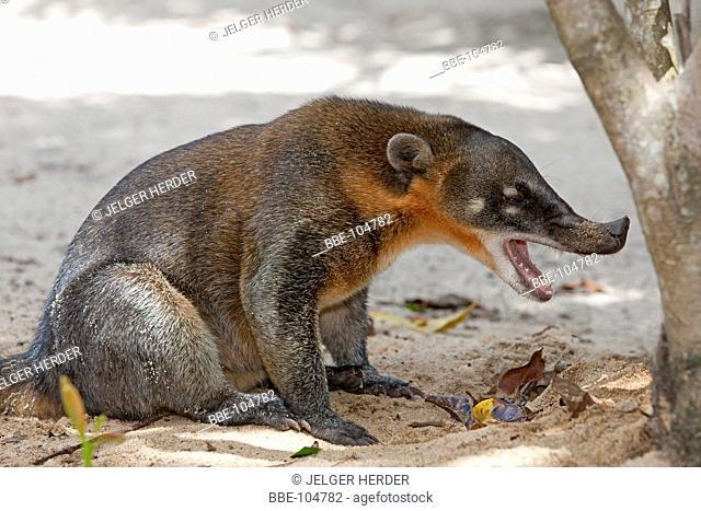 photo of a South American Coati on the beach