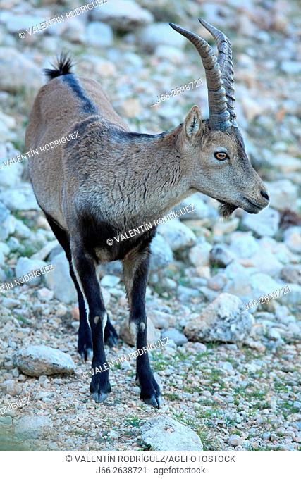 Ibex (Capra pyrenaica) in the natural park of Els Ports. . Male specimen. Tarragona