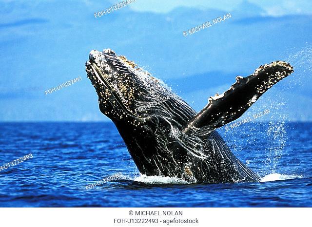 Humpback Whale Megaptera novaeangliae Calf breaching. Chatham Strait, Southeast Alaska, USA