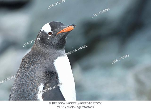 Portrait of a gentoo penguin on Cuverville Island, Antarctic Peninsula