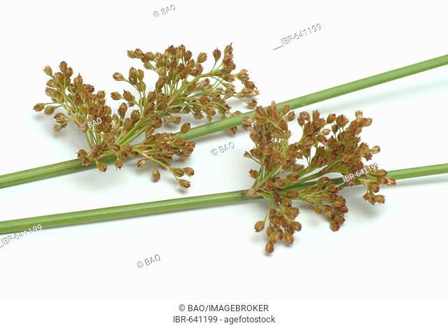Soft Rush (Juncus effusus), medicinal plant