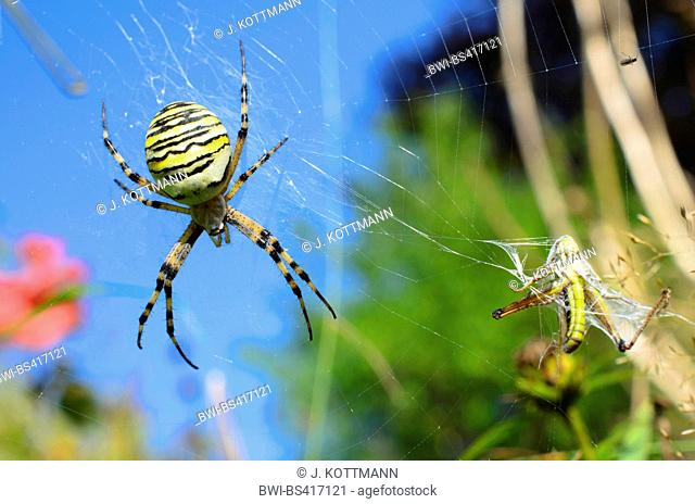 Black-and-yellow argiope, Black-and-yellow garden spider (Argiope bruennichi), in its web in the garden with caught grasshopper, Germany