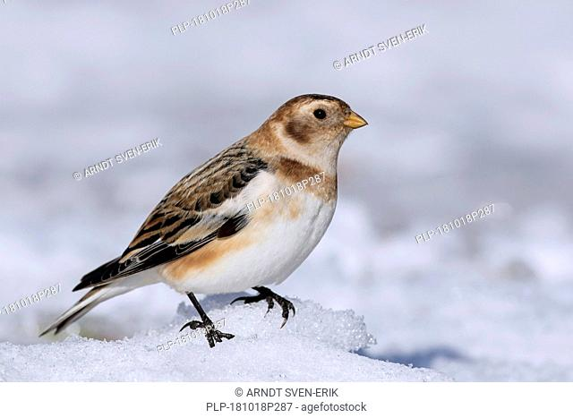 Snow bunting (Plectrophenax nivalis / Emberiza nivalis) in winter plumage in the Scottish Highlands, Scotland, UK