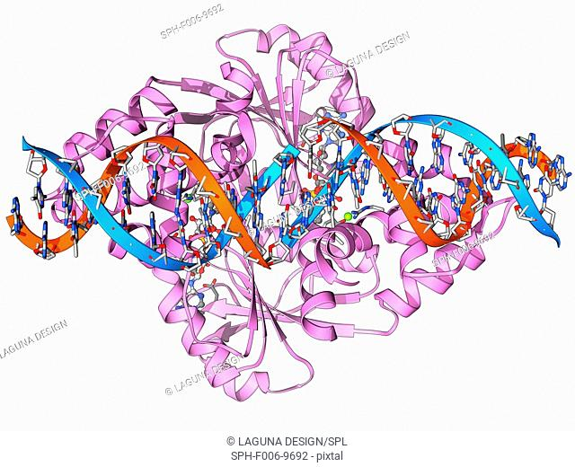 Transcription repressor protein and DNA, molecular model. The repressor protein (green) is binding to a strand of DNA (deoxyribonucleic acid, pink and purple)