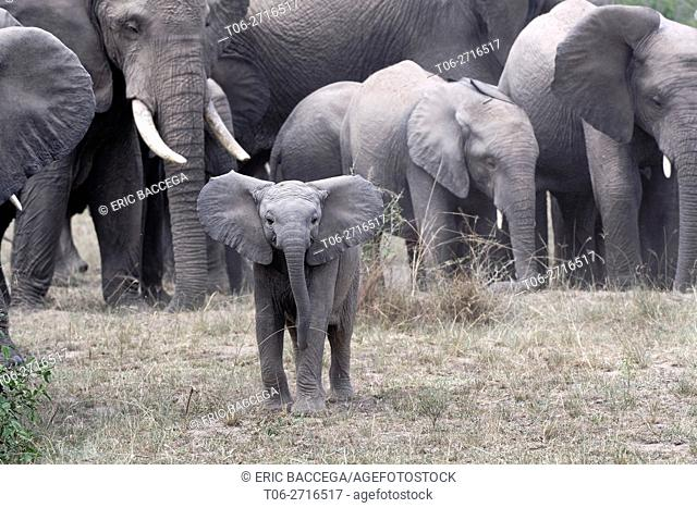 African elephant herd with calf (Loxodonta africana) Queen Elizabeth National Park, Uganda, Africa