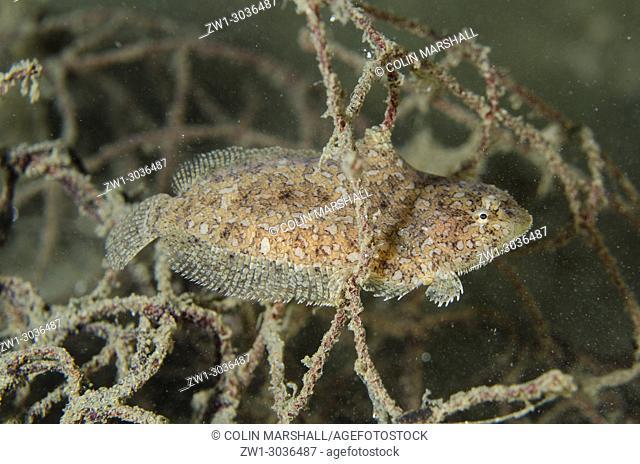 Strange Sole (Aseraggodes xenicus) in net, Air Manis dive site, Ambon, Maluku (Moluccas), Banda Sea, Indonesia