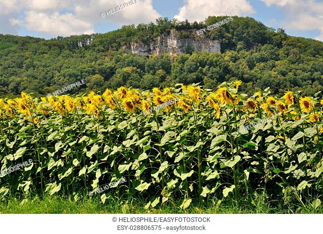 Cenac, sun flower field