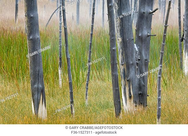 Burnt tree trunks and grass after a fall snow storm, near Midway, near Firehole Lake Drive, Yellowstone National Park, Wyoming