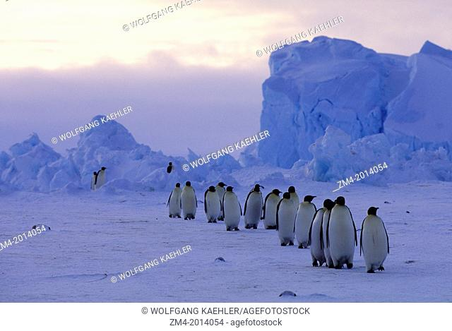 ANTARCTICA, RIISER-LARSEN ICE SHELF, EMPEROR PENGUINS, RETURNING FROM FEEDING AT SEA