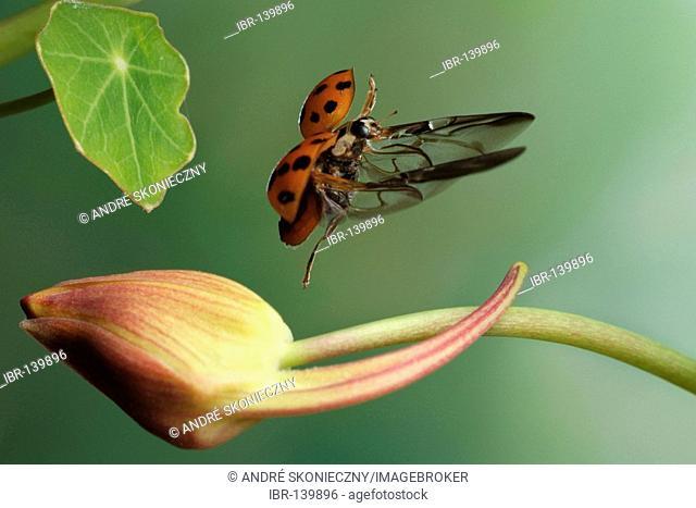 Asian lady beetle (Harmonia axyridis)