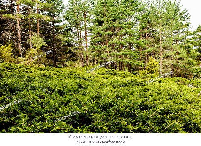 Savin Juniper (Juniperus sabina), Rincon de Palacios, Serrania de Cuenca Natural Park, Cuenca province, Castilla-La Mancha, Spain