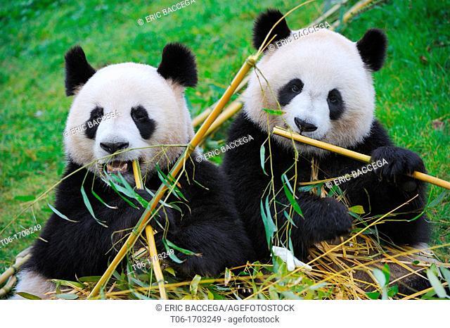 Giant panda pair eating bambou Ailuropoda melanoleuca captive  ZooParc Beauval, France