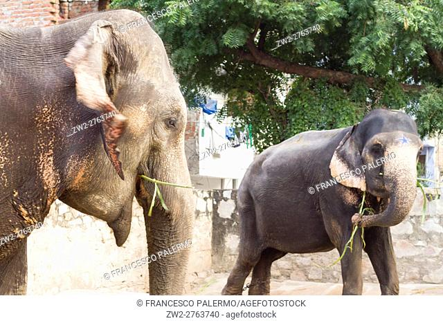 Indian elephant in rest time. Jaipur, Rajasthan. India