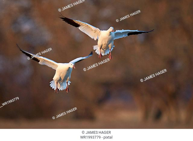 Two snow goose (Chen caerulescens) landing, Bosque del Apache National Wildlife Refuge, New Mexico, United States of America, North America