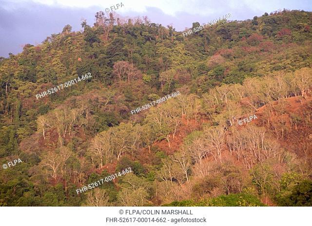 Eucalyptus Eucalyptus sp forested hills, near Perai Village, West Wetar Island, Alor Archipelago, Lesser Sunda Islands, Indonesia