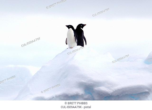 Adelie Penguins back to back on ice floe in the southern ocean, 180 miles north of East Antarctica, Antarctica