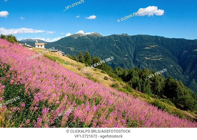 Epilobium summer flowering. Susen - Valtellina - Lombardy - italian Alps